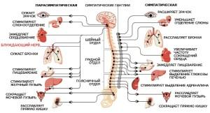 ЦНС_блуждающий_нерв_схема
